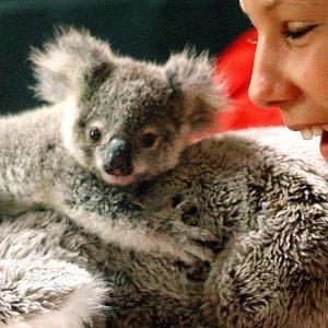 Ranger the Rescued Baby Koala 🐨 Izzy's Koala World | Netflix Jr