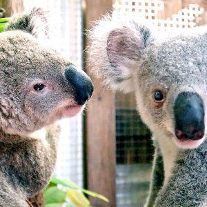 Chompy the Koala's Big Move | Izzy's Koala World | Netflix Jr