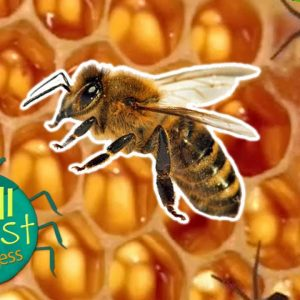 Minibeast Adventure with Jess | How Do Bees Make Honey? | Wizz Explore
